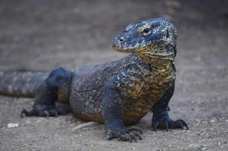 Dragon de Komodo, Rinca