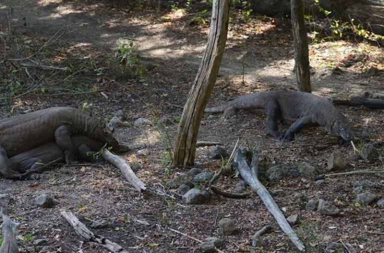 Dragons de Komodo, Rinca
