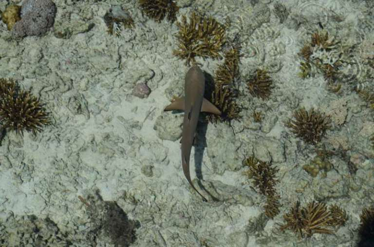 Kanawa, requin pointe noire juvénile