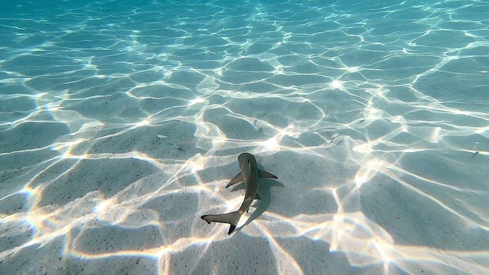 MALAISIE - Île de Perhentian Besar, un requin pointe noire juvénile